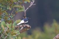 White-tailed Cotinga - Xipholena lamellipennis