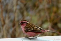 White-browed Rosefinch - Carpodacus thura