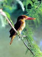 호반새    |  ruddy kingfisher   湖畔─   Halcyon coromanda
