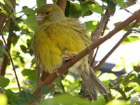 Green Singing Finch