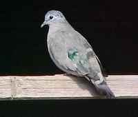 Emerald-spotted Wood Dove Turtur chalcospilos