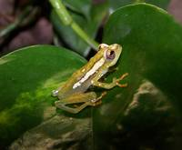 : Hyperolius spinigularis; Spiny-throated Reed Frog