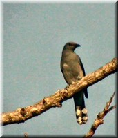 Mangoverde World Bird Guide Photo Page: Black-winged Cuckoo-shrike Coracina melaschistos