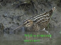 꺅도요 common snipe