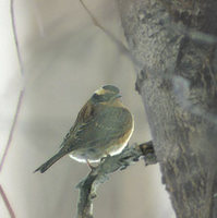 Siberian Accentor (Prunella montanella) photo