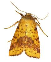Xanthia togata - Pink-barred Sallow