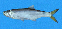 Lycengraulis poeyi, Pacific sabretooth anchovy: fisheries