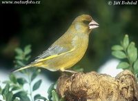Carduelis chloris - European Greenfinch