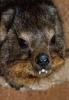 Procavia capensis - Common Rock Hyrax