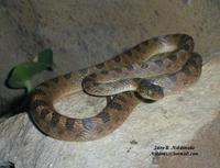 Image of: Leptodeira septentrionalis (cat-eyed snake)