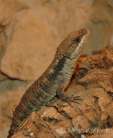 Cordylus tropidosternum - Tropical Girdled Lizard