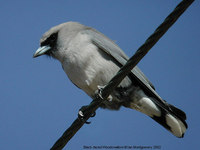 Black-faced Woodswallow - Artamus cinereus