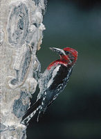 Red-breasted Sapsucker (Sphyrapicus ruber) photo