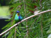 Fiery-throated Hummingbird - Panterpe insignis