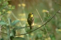Stripe-tailed Yellow-Finch - Sicalis citrina