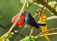 Slaty Flowerpiercer Close-up