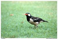 Pied-Myna Flickr
