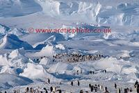 ...FT0118-00: Emperor Penguin colony situated amongst small frozen in icebergs by the ice shelf. An