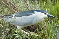 black crowned heron.jpg (126454 bytes)