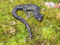 : Plethodon variolatus; South Carolina Slimy Salamander