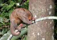 : Cyclopes didactylus; Silky, Pygmy Anteater