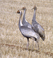 재두루미 Grus vipio | white-naped crane