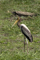 Leptoptilos javanicus   Lesser Adjutant photo