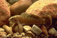 Etheostoma maculatum, Spotted darter: