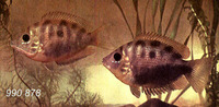 Etroplus maculatus, Orange chromide: fisheries, aquarium