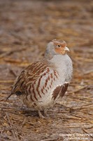 Perdix perdix - Grey Partridge