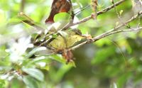 Long-billed Greenbul - Phyllastrephus madagascariensis