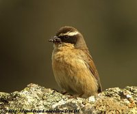 Brown Accentor - Prunella fulvescens