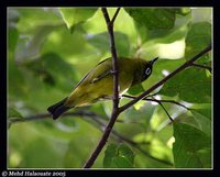 Capped White-eye - Zosterops fuscicapillus