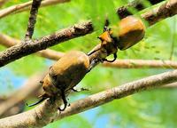 Rhinoceros Beetles the size of a fist