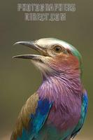 Lilac breasted roller portrait stock photo