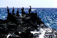 Pelagic               cormorants, Phalacrocorax pelagicus