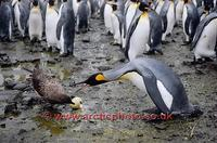 ...FT0163-00: Brown Skua, Catharacta antarctica, predates a King Penguin egg while Penguin looks on