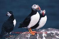 FT0173-00: Atlantic Puffins on a rock. North Atlantic