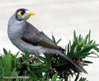 Noisy Miner, Manorina melanocephala (Meliphagidae), Noosa, Queensland, November 2004. Photo © Ba...