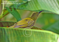 : Arachnothera affinis; Grey-breasted Spiderhunter