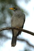 Yellow throated Miner