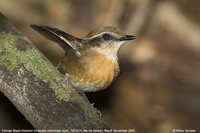 Black-cheeked Gnateater - Conopophaga melanops