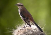 Brown-backed Mockingbird - Mimus dorsalis