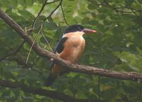 Black-Capped Kingfisher Halcyon pileata 청호반새