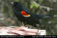 Red-winged Blackbird (male) - Ohio