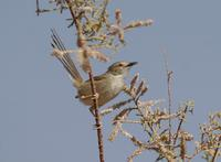 Graceful Warbler (Prinia gracilis)