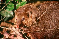 : Crossarchus obscurus; Long-nosed Cusimanse