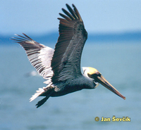 Photo of pelikán hnědý, Brown Pelican, Braunpelikan, Pelícano Alcatraz,  Pelecanus occidentalis