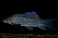 Labeo coubie, African carp: fisheries, aquarium