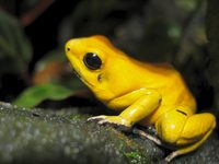 Phyllobates terribilis 'orange'